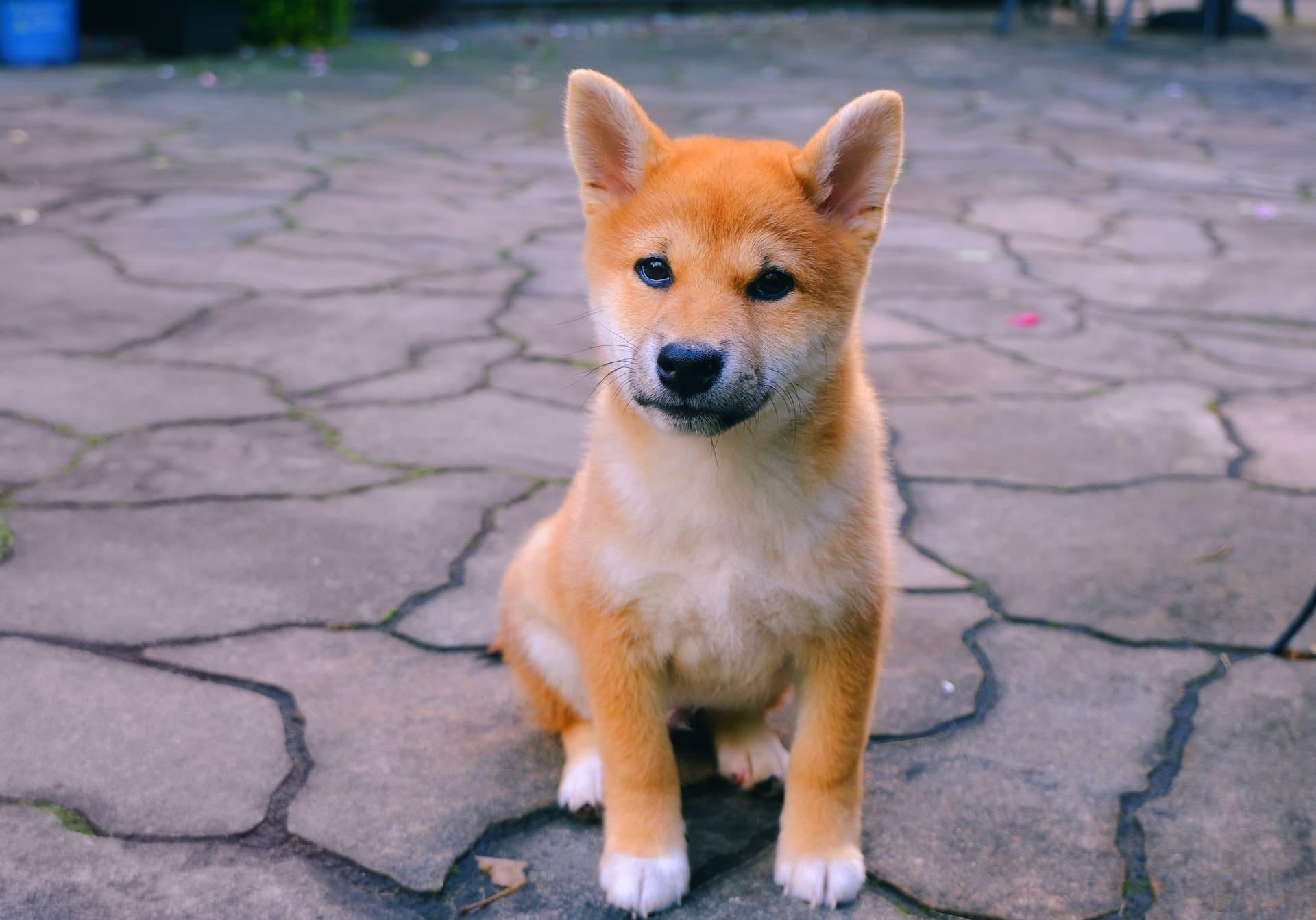 doge-shib-unsplash